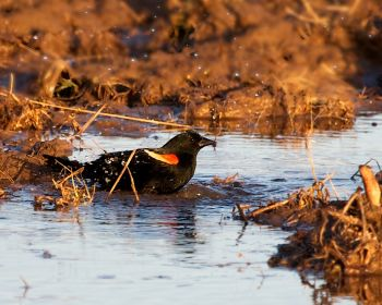Red-winged Blackbird Bathing