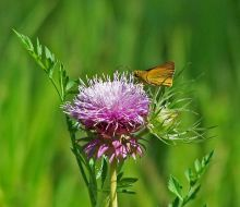 thistle  skipper