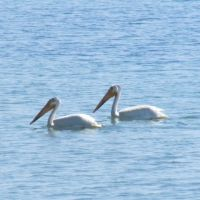 white pelicans forest beach   becky hart