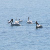 white pelicans forest beach   becky hart 2