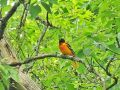 Baltimore Oriole at Hames Preserve June 2019  6643