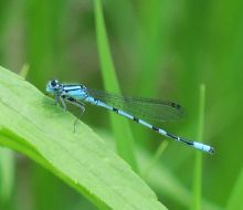 Blue Damsel Fly Cedarburg ESA June 2019  695