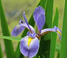 Blue Flag Iris Cedarburg Environmental Study Area June 2019 6677