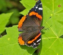 red admiral 5 sm