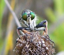 robberfly 3