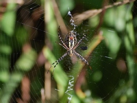 golden_garden_spider_2