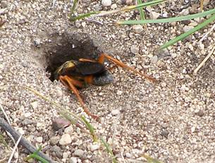 Great golden digger wasp posterior.