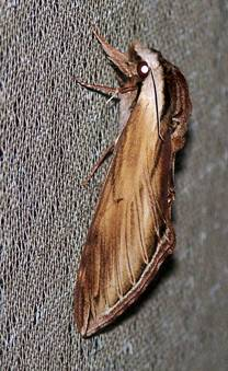 Laurel Moth