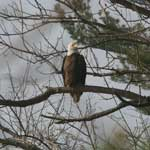 Bald Eagle at Donges Bay Gorge in Mequon